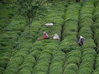 Yaş çay alım kampanyası başlıyor