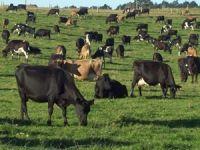 Hayvancılık sektörüne 3,2 milyar lira destek