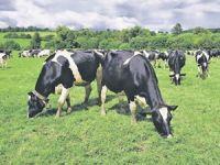 Genç çiftçilere para yerine inek verilecek