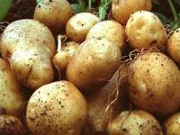 Ocak ayında patatesin fiyatı yüzde 65 arttı