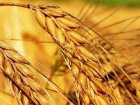 Bitkisel ihracatın yarısı buğday, üzüm ve domatesten