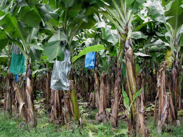 banana_plant.jpg