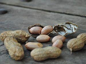 Çukurova'da yer fıstığı hasadı başladı