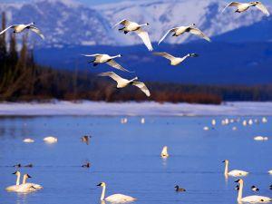 Kuğuların baleyi andıran göçü başladı