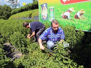 """ÇAYKUR'da bu yılın ilk """"stevia"""" hasadı yapıldı"""